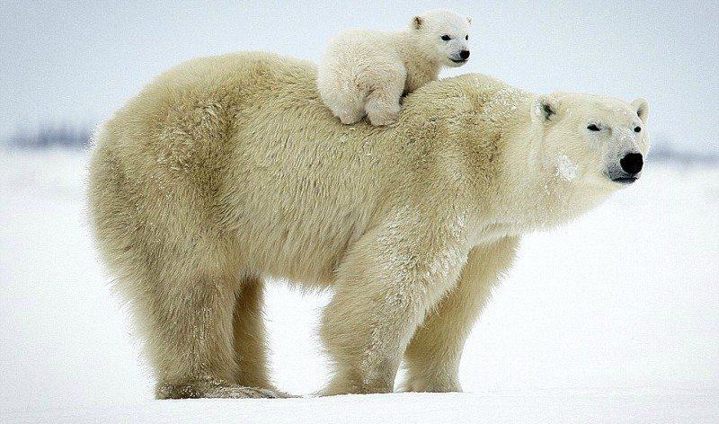 Aalborg Zoo har fået hele tre små isbjørne-unger. Billedet er ikke associeret med Aalborg Zoo