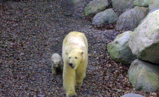 Isbjørne-ungerne var ude af hulen i Aalborg Zoo for første gang siden fødslen