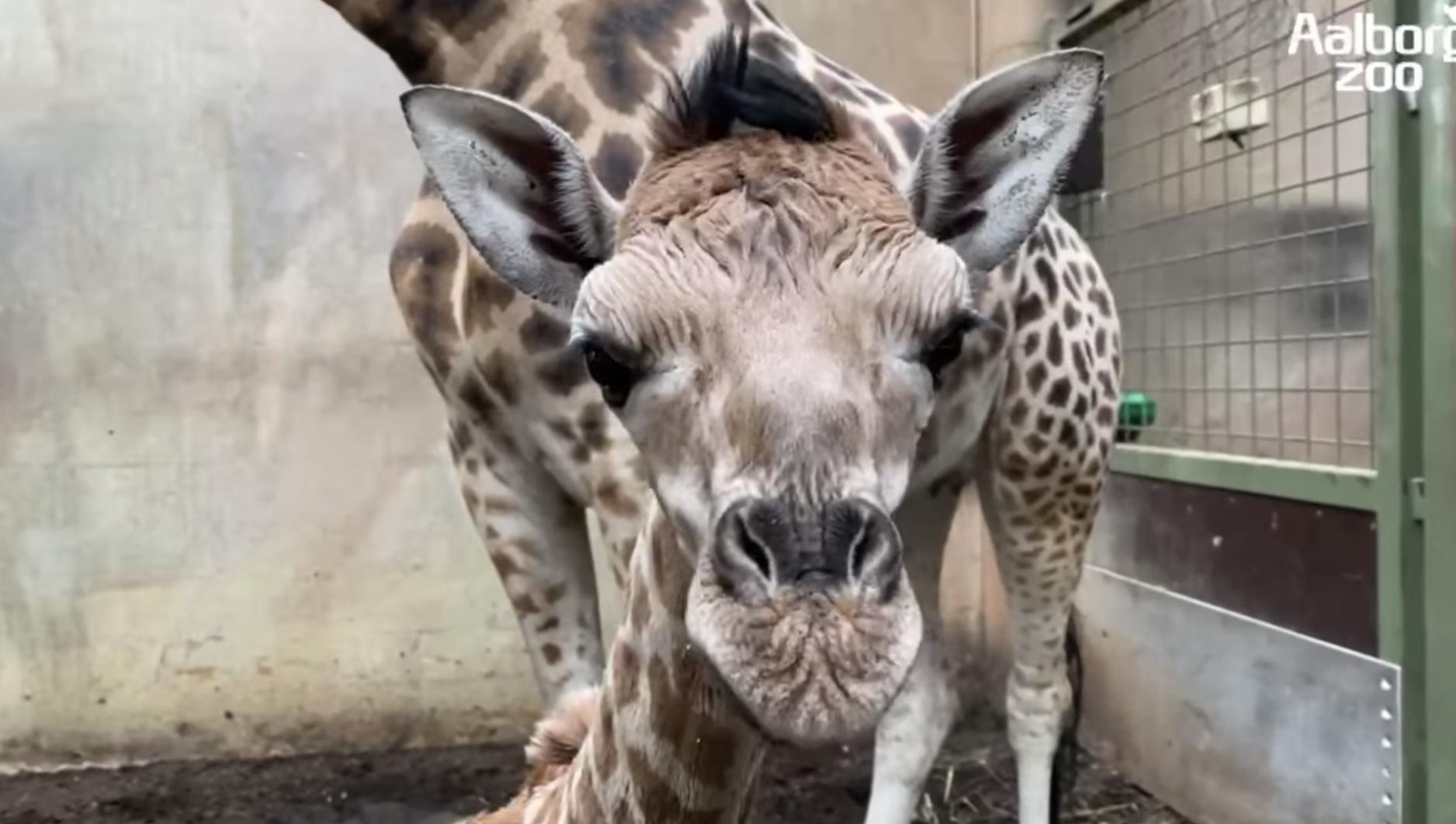 Nye regler indføres: Aalborg Zoo åbner officielt for gæster i denne uge