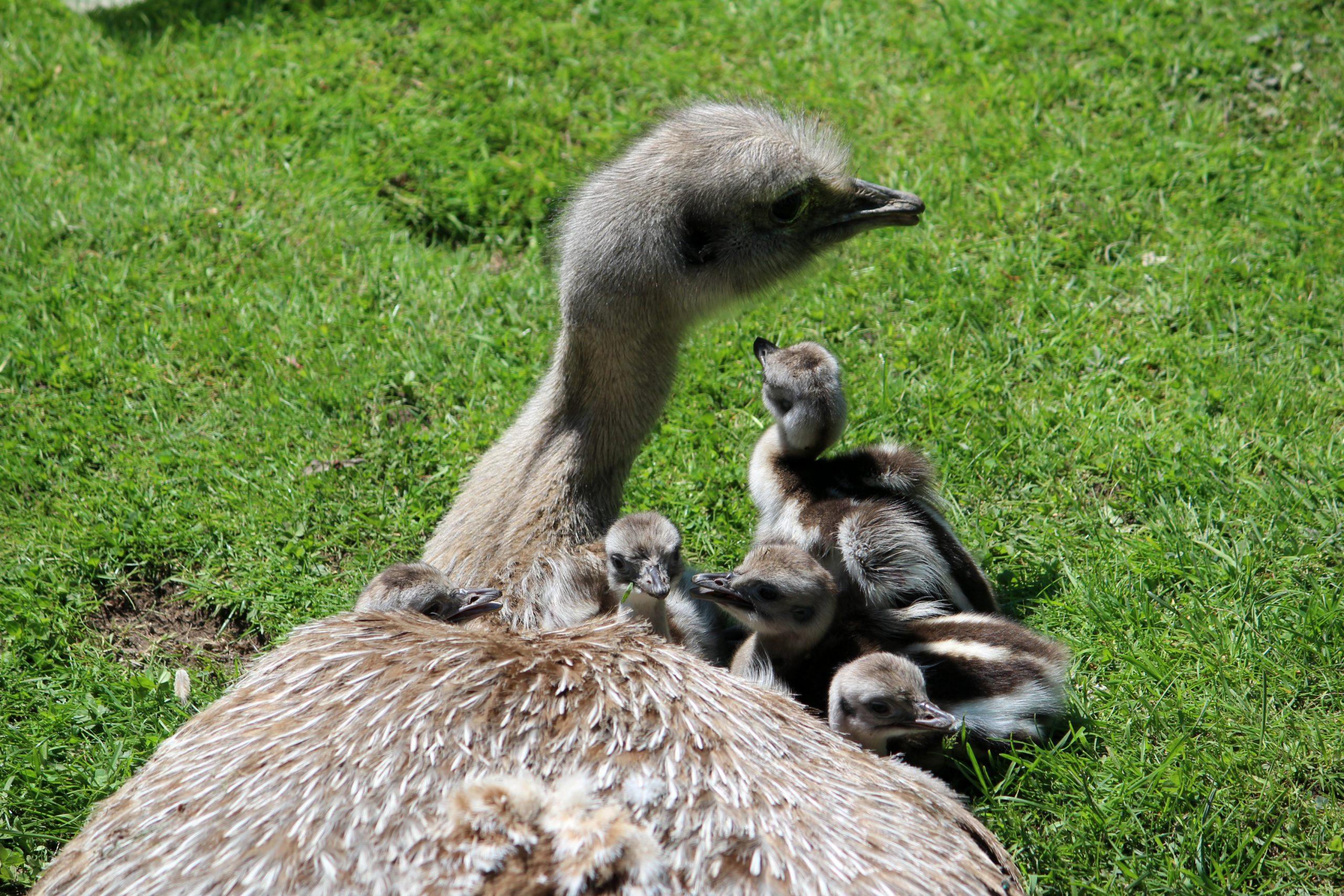 Et sommermirakel: Fem helt særlige kyllinger er udklækket i Aalborg Zoo