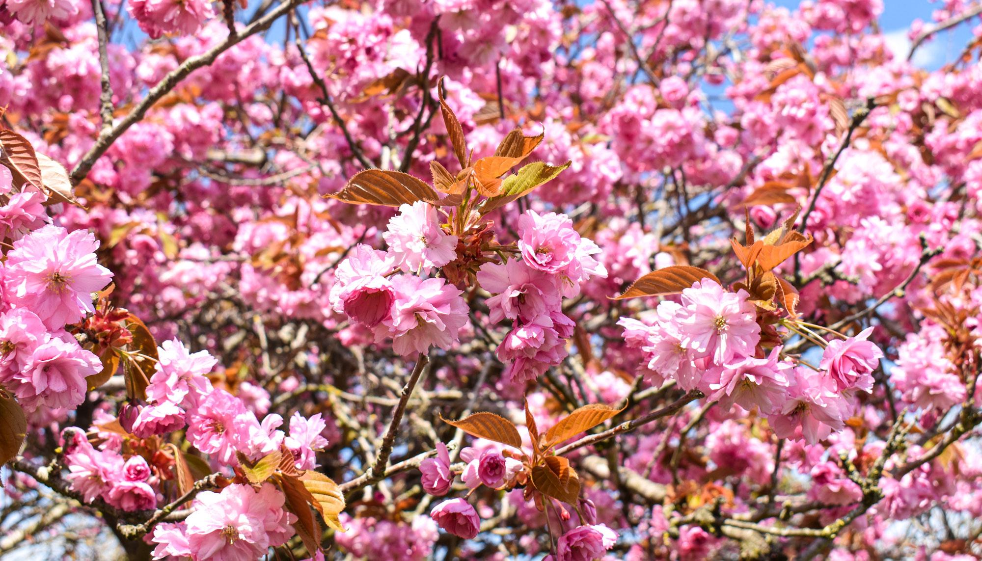 Strike a pose: Aalborgs fotogene kirsebærtræer er sprunget ud