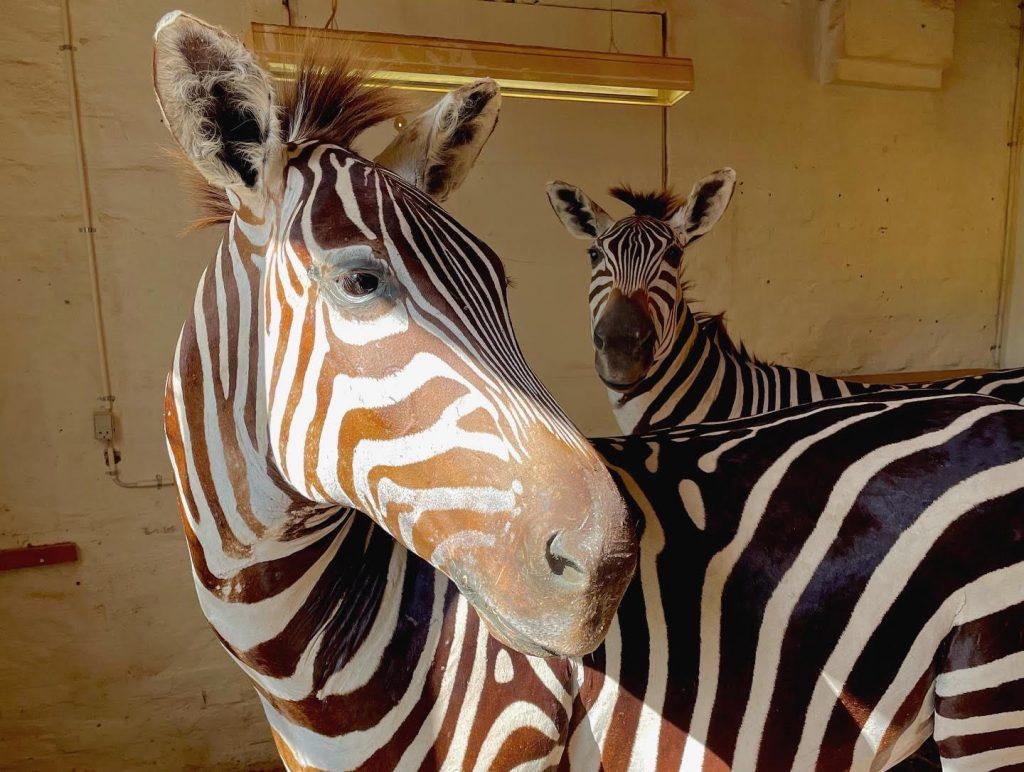 Start din egen zoo: To zebraer er sat til salg i Aalborg