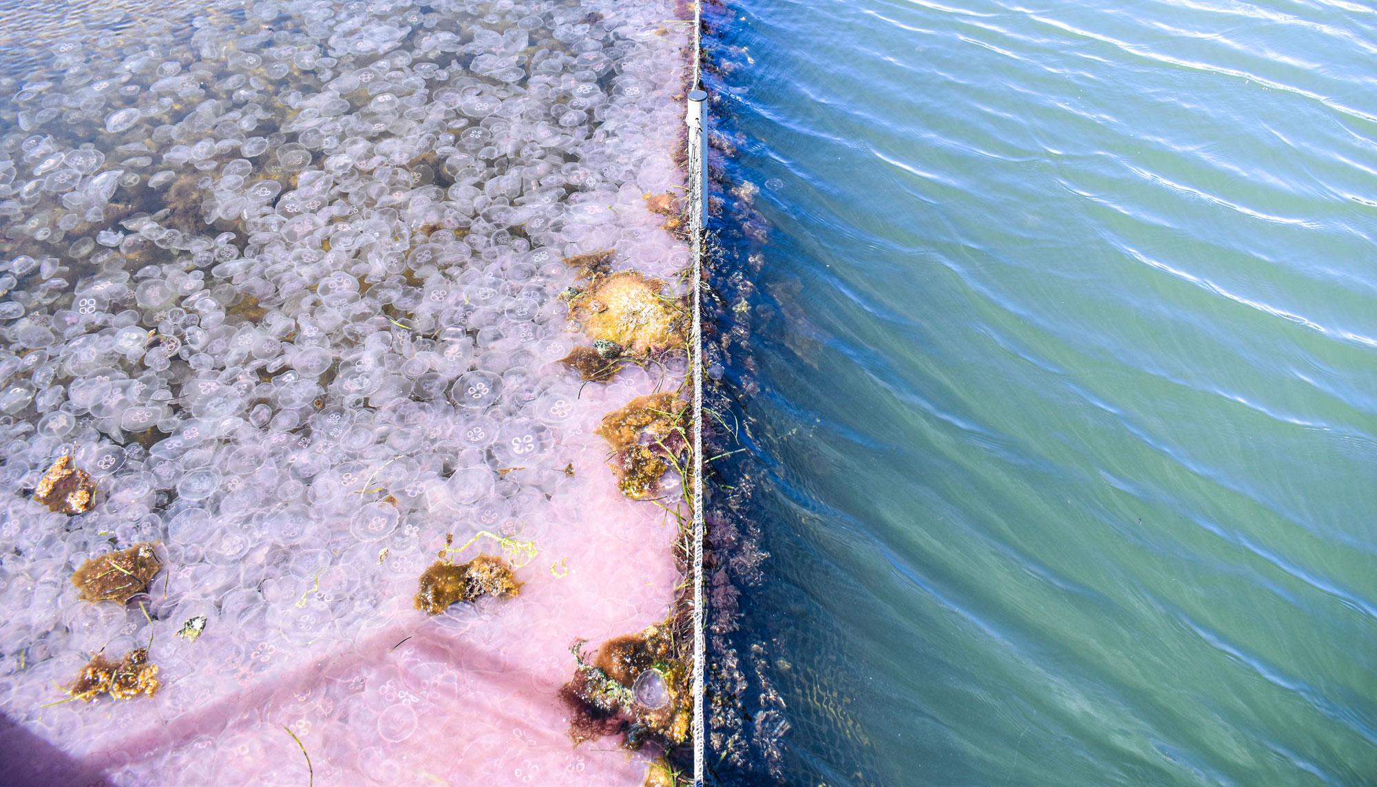 Et vanskabt problem: Derfor er der så mange vandmænd i Aalborg