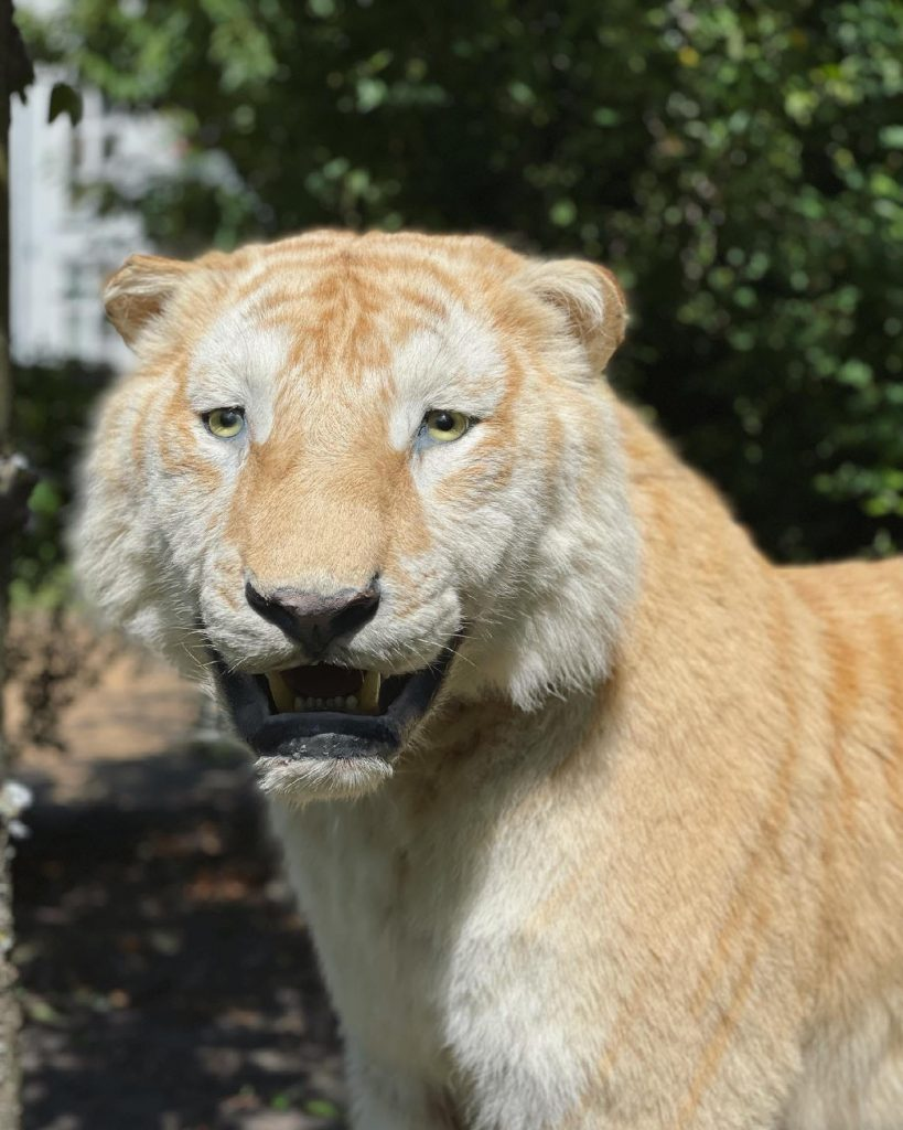 Udlev din indre Tiger King: Ekstrem sjælden tiger er til salg i Aalborg